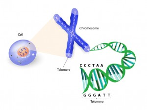 Human cell, chromosome and telomere